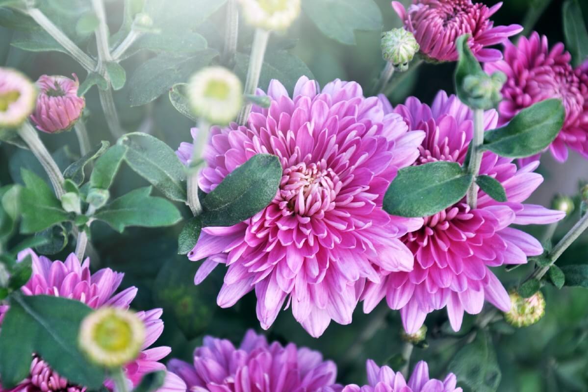 purple mum flowers closeup