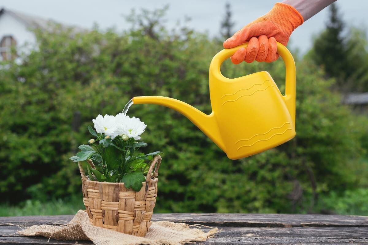 watering chrysanthemum plant