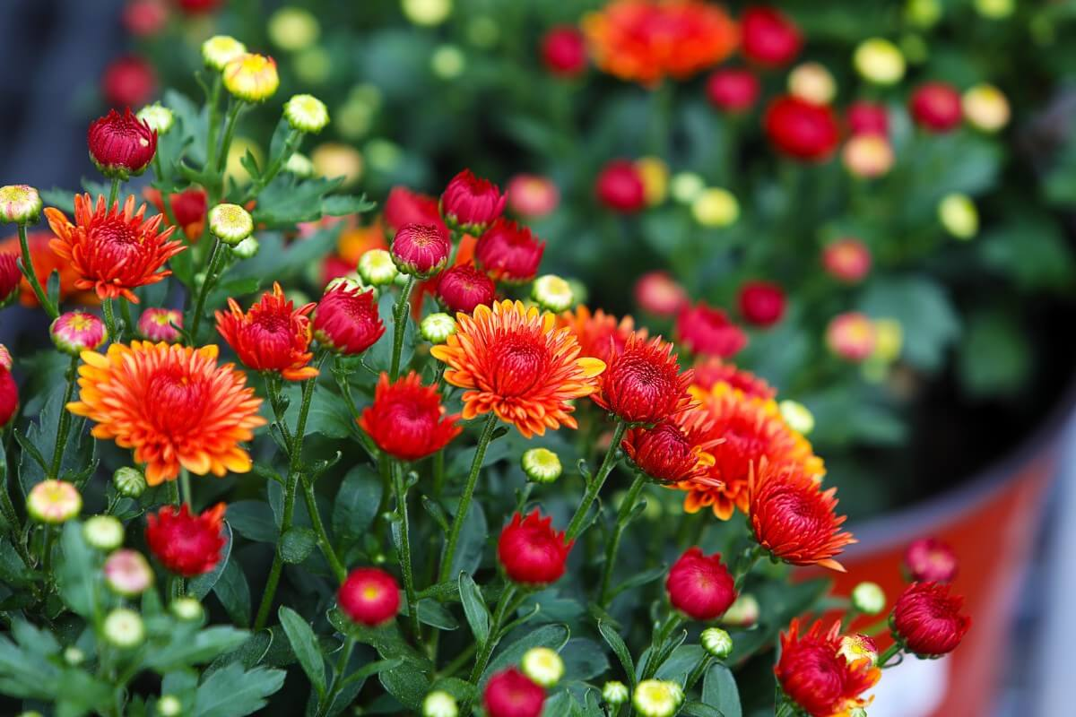 mums in bloom red and yellow