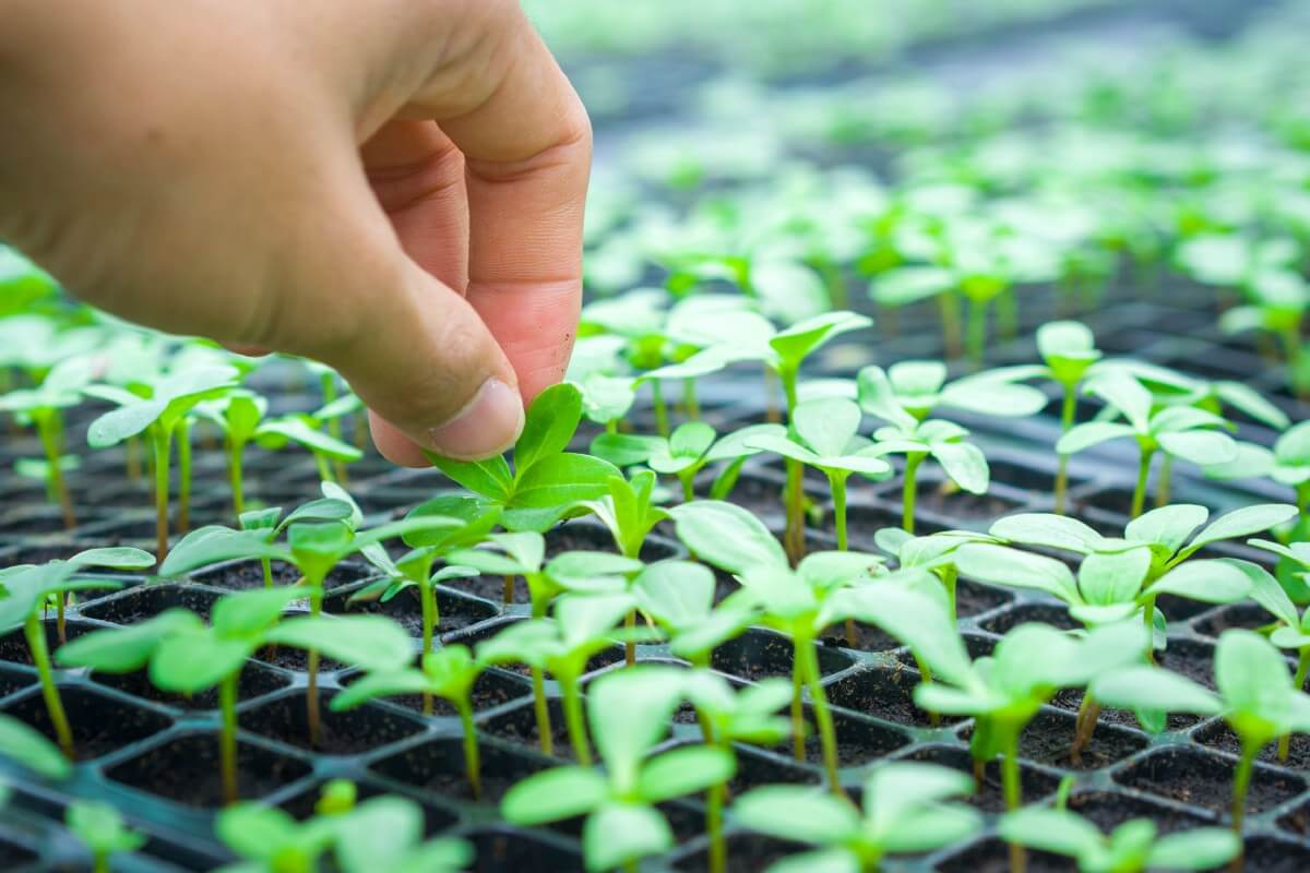 small seedling being picked up by hand