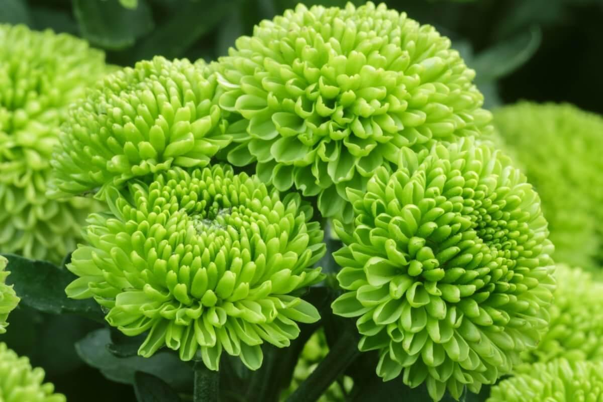 green chrysanthemum blooms