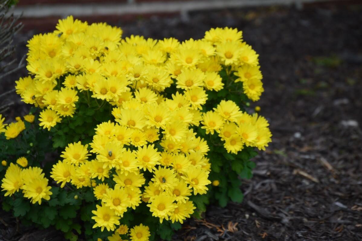 yellow chrysanthemum plant with mulch layer