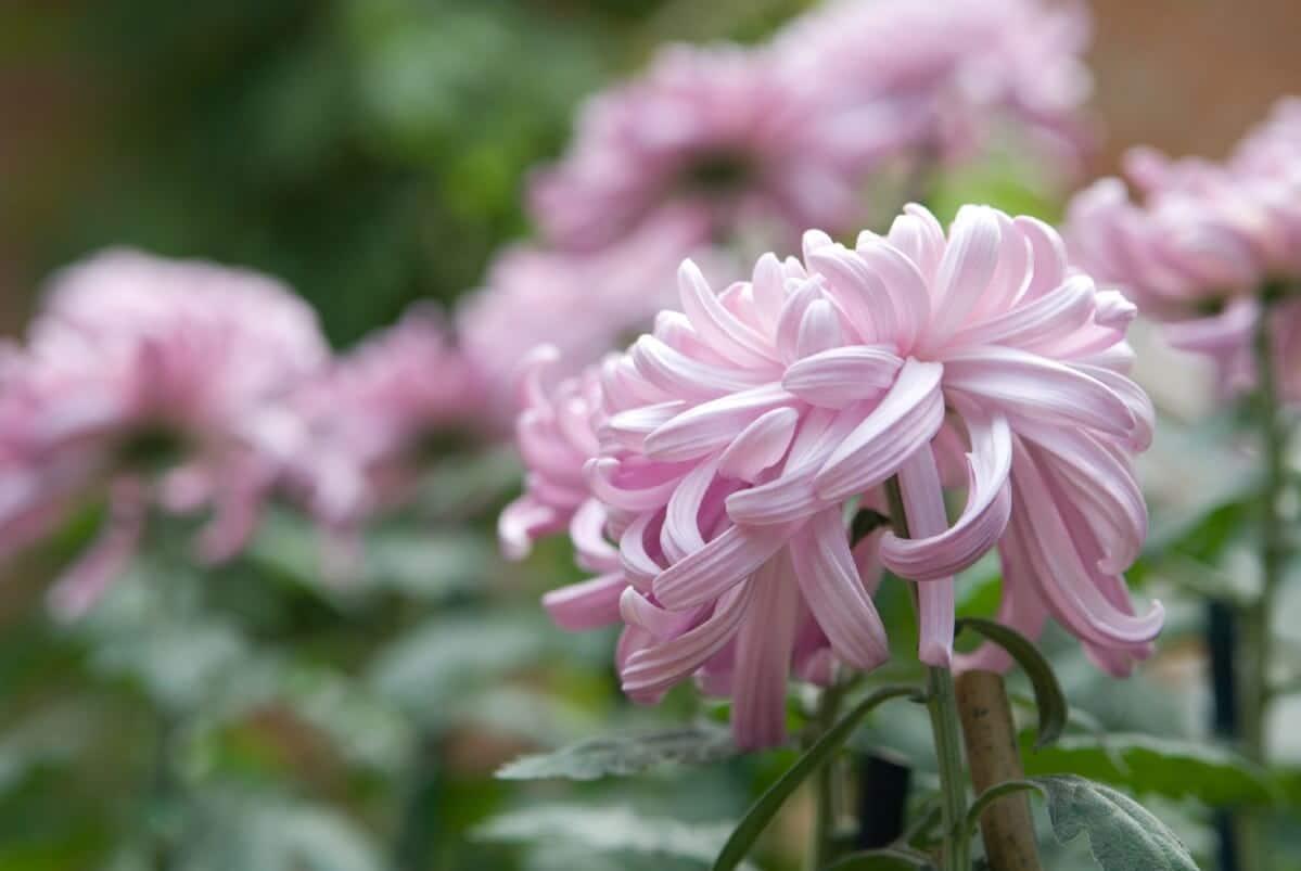 light purple chrysanthemum