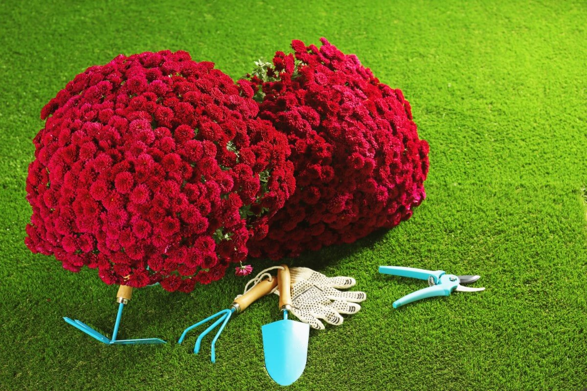 large red mums with gardening tools and trowel