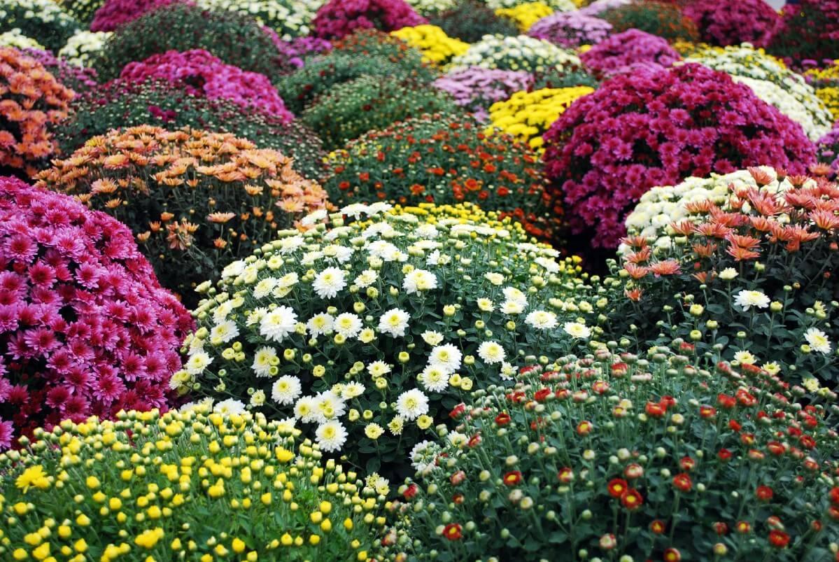 multiple varieties of chrysanthemums