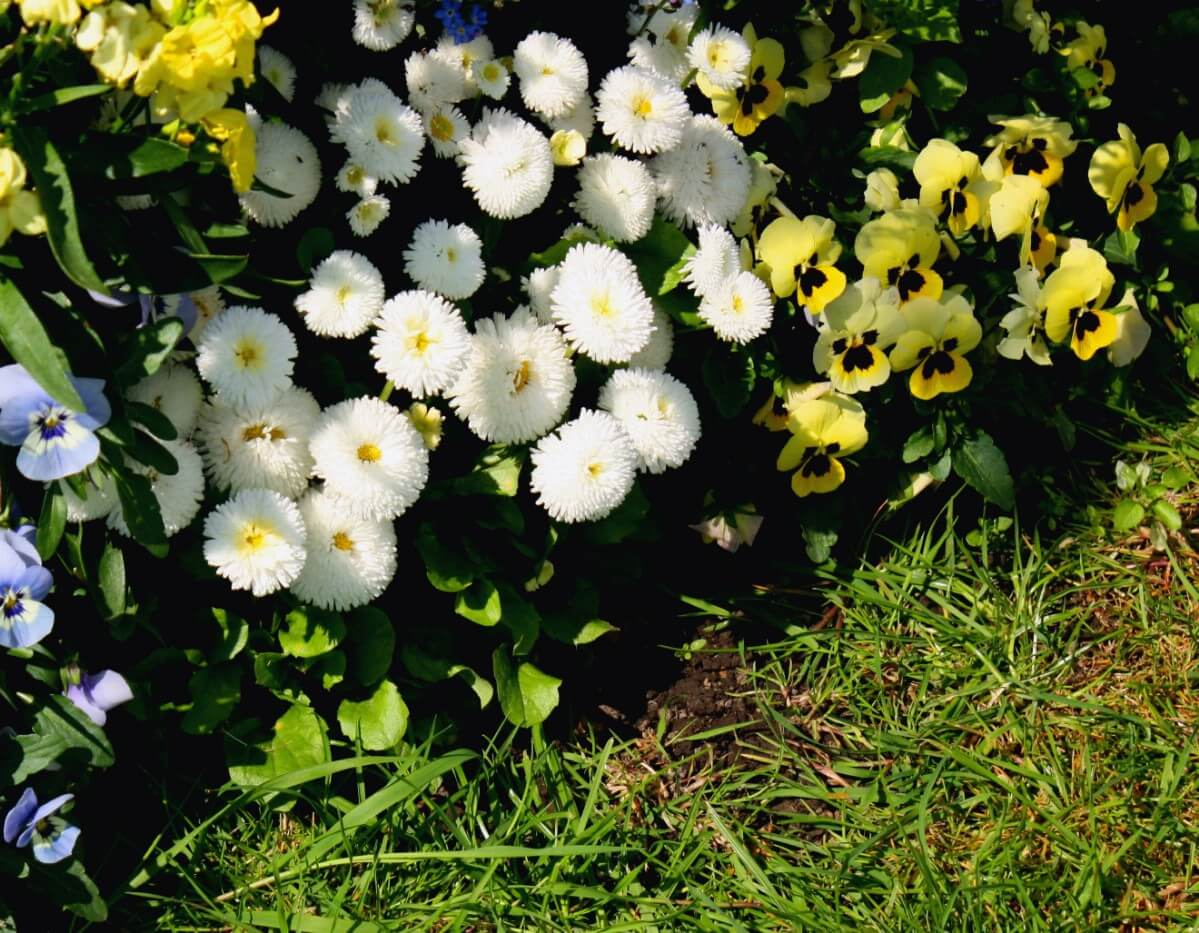 pansies planted with white chrysanthemums