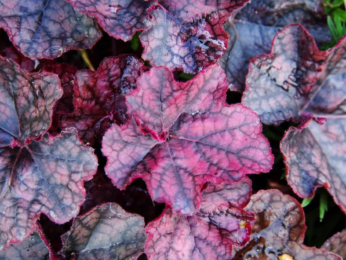closeup of coral bells leaves