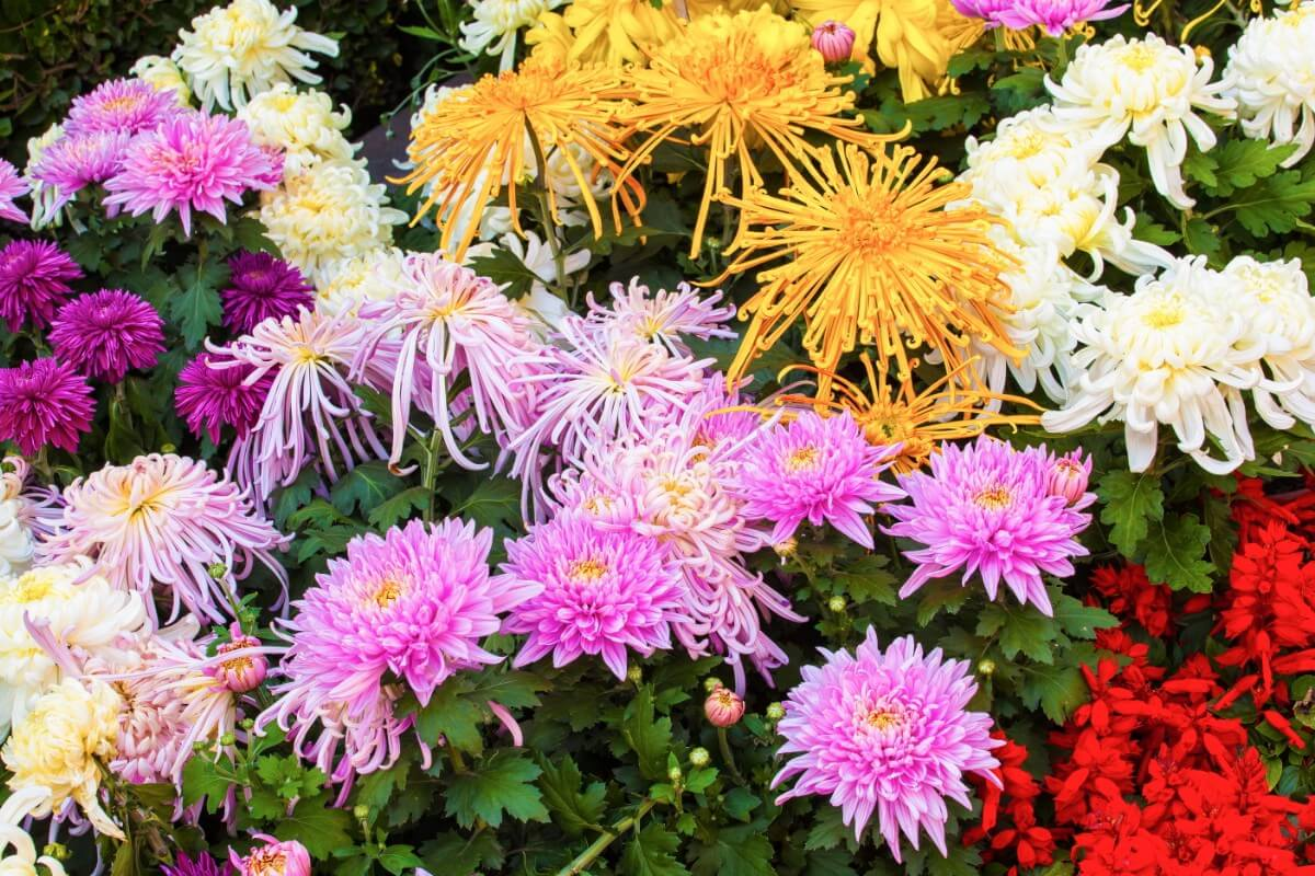 a variety of types of mums pink and yellow