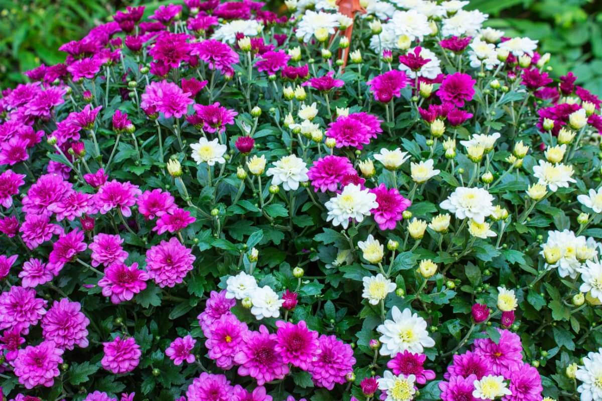 mixed purple and white mums