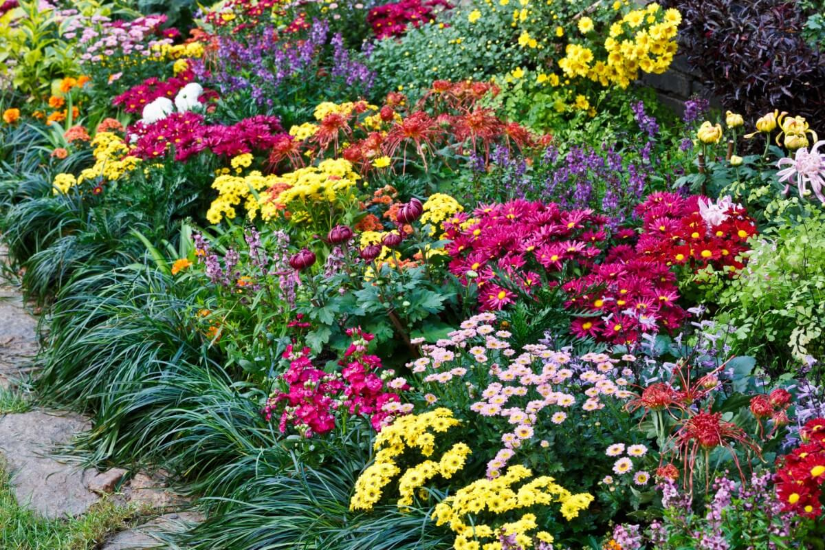 colorful planting of mums in flower bed