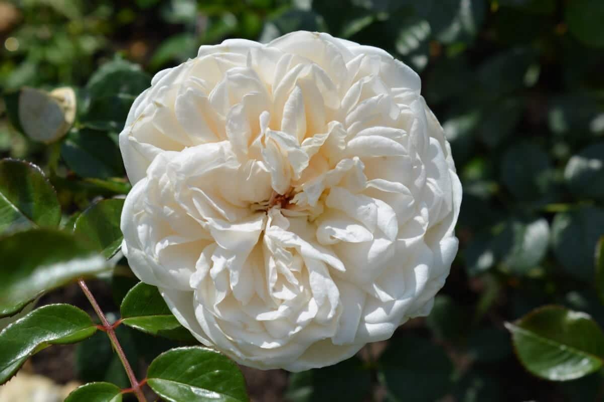 White rose bulb close up.