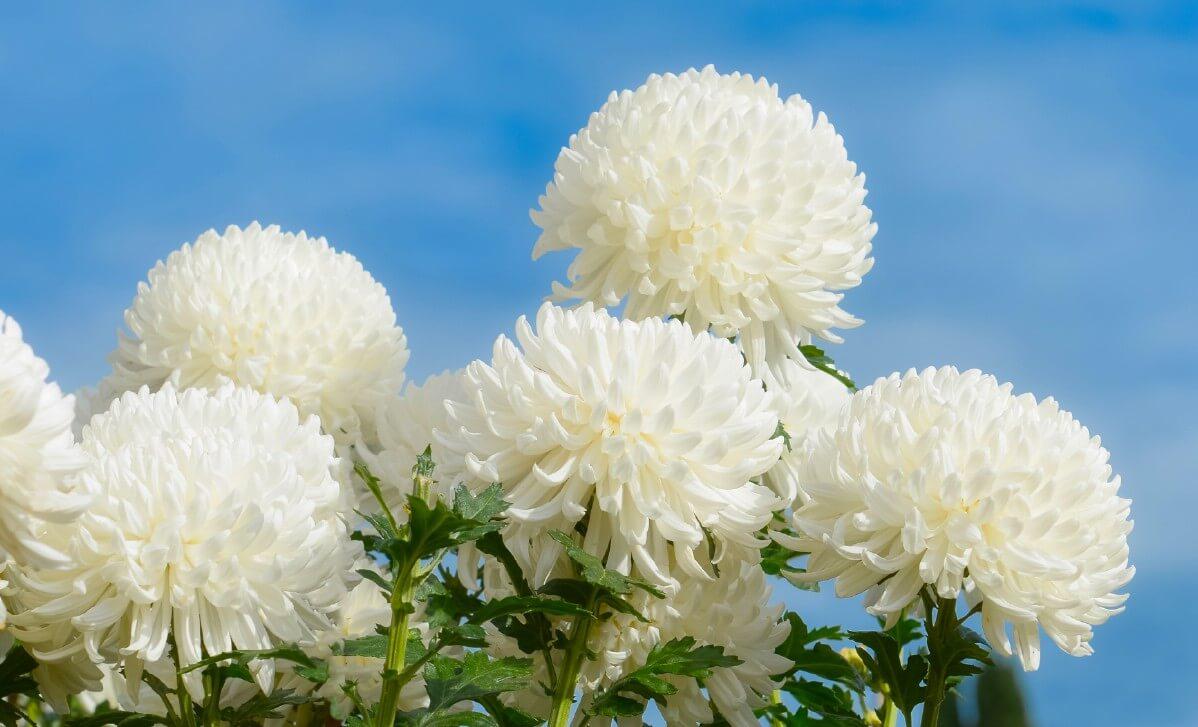 white moonbeam mums