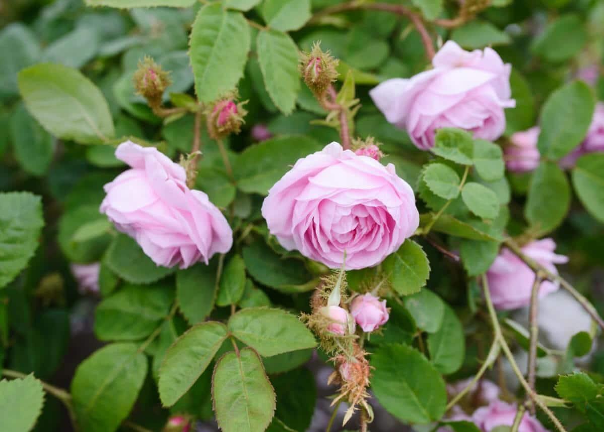 Moss rose bush.