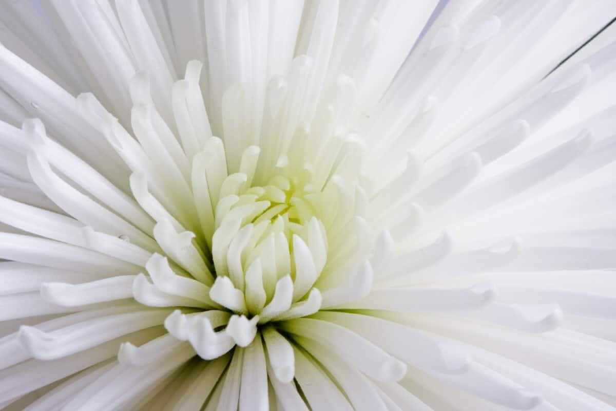 star-like white mum bloom