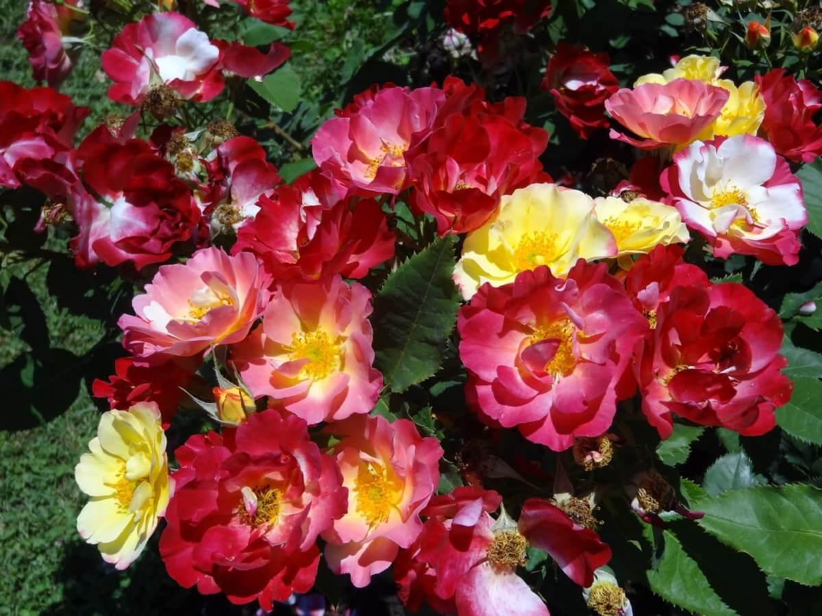 Colorful rose bush