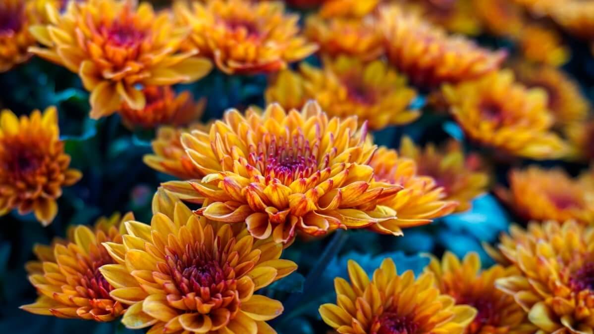 dark orange chrysanthemum flowers