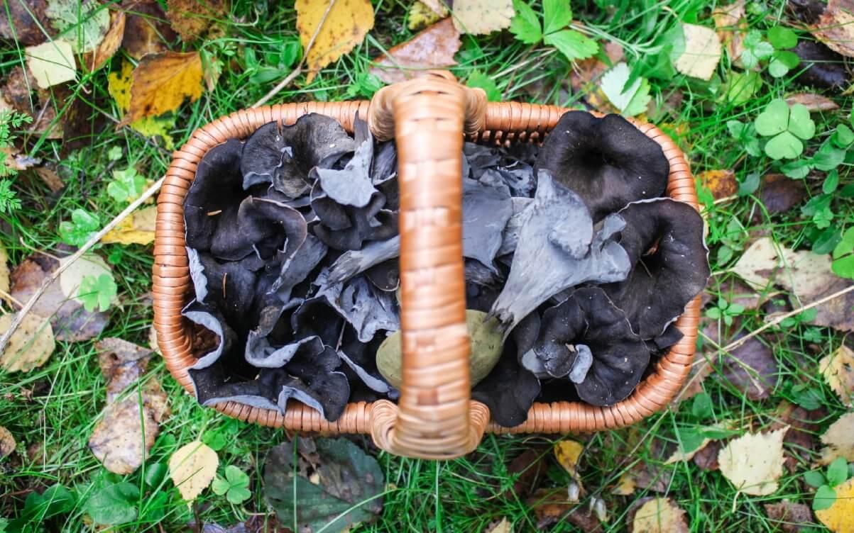 A basket filled with black trumpet mushrooms.
