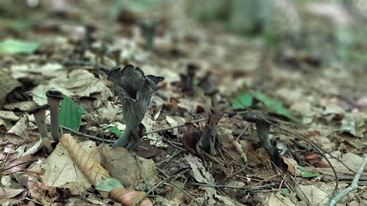 Three black trumpet mushrooms on the forest floor.