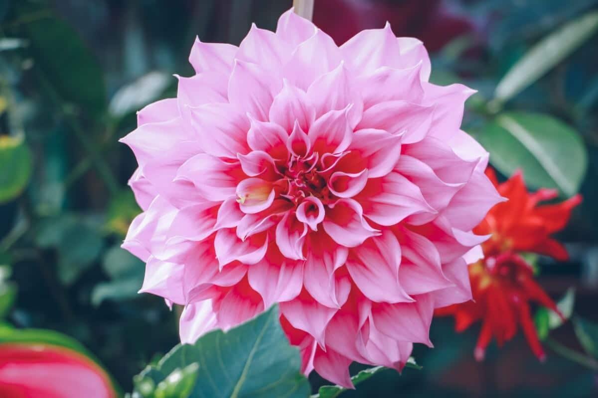 giant dahlia pink color