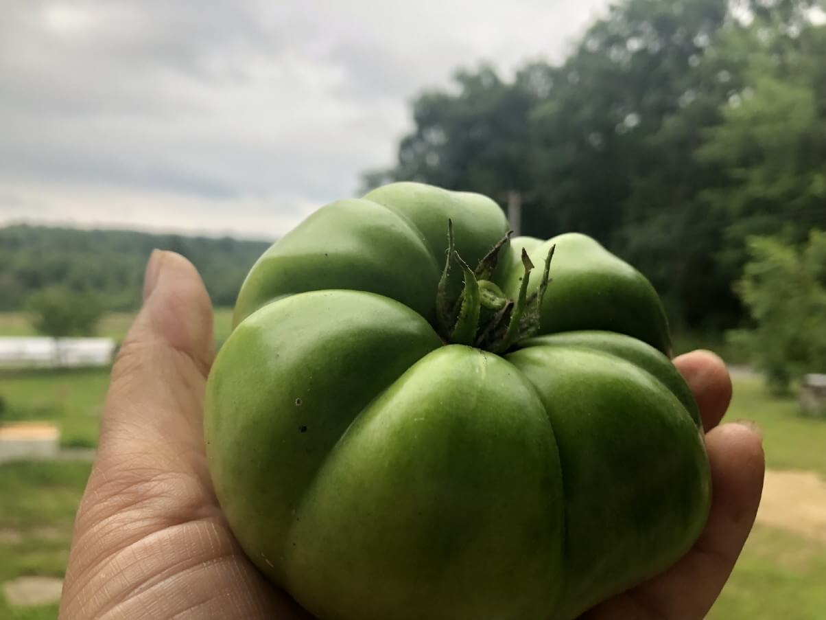 green tomato held up to the sky