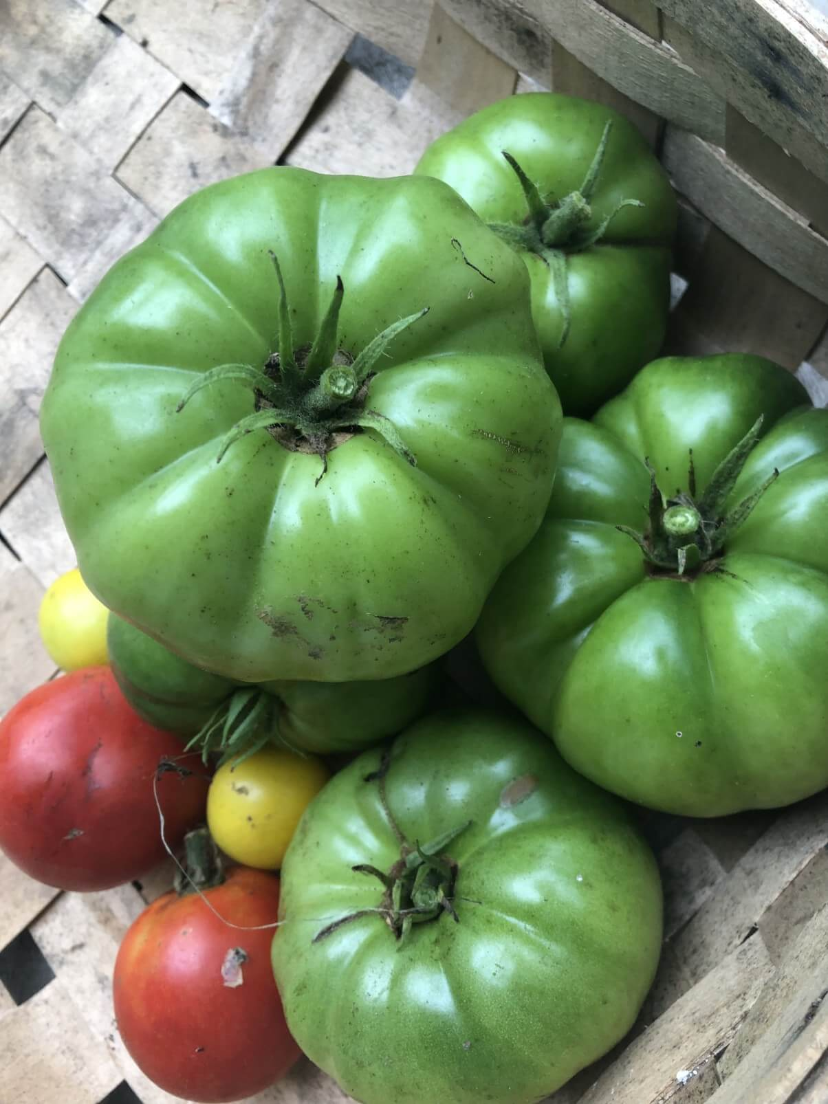 harvest of green tomatoes with small red and yellow tomatoes