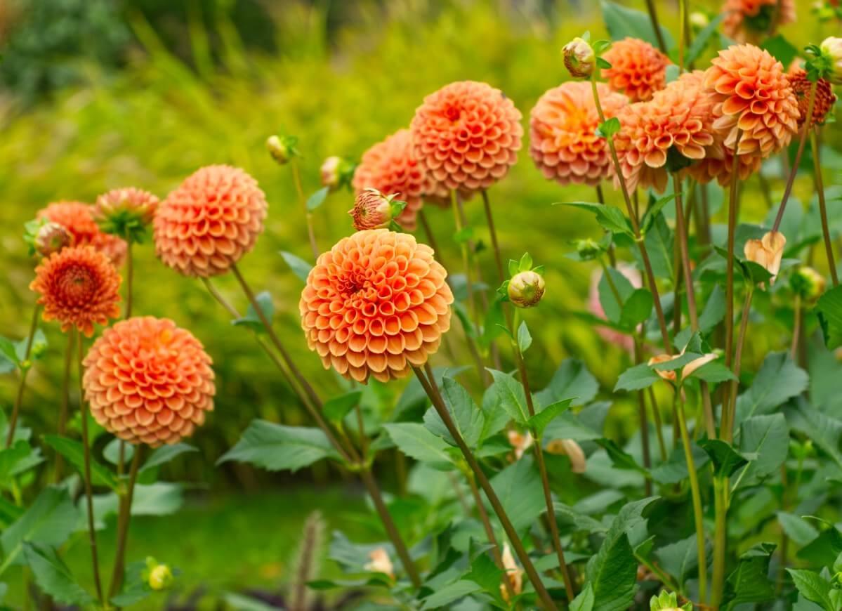 orange pom dahlia flowers