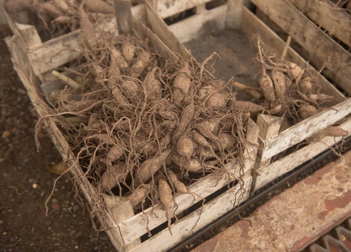 dormant dahlia tubers in crate
