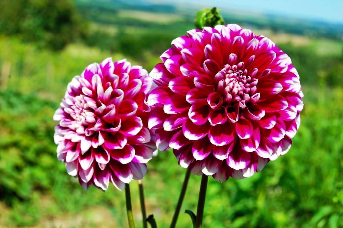 white tipped dark pink dahlia flowers