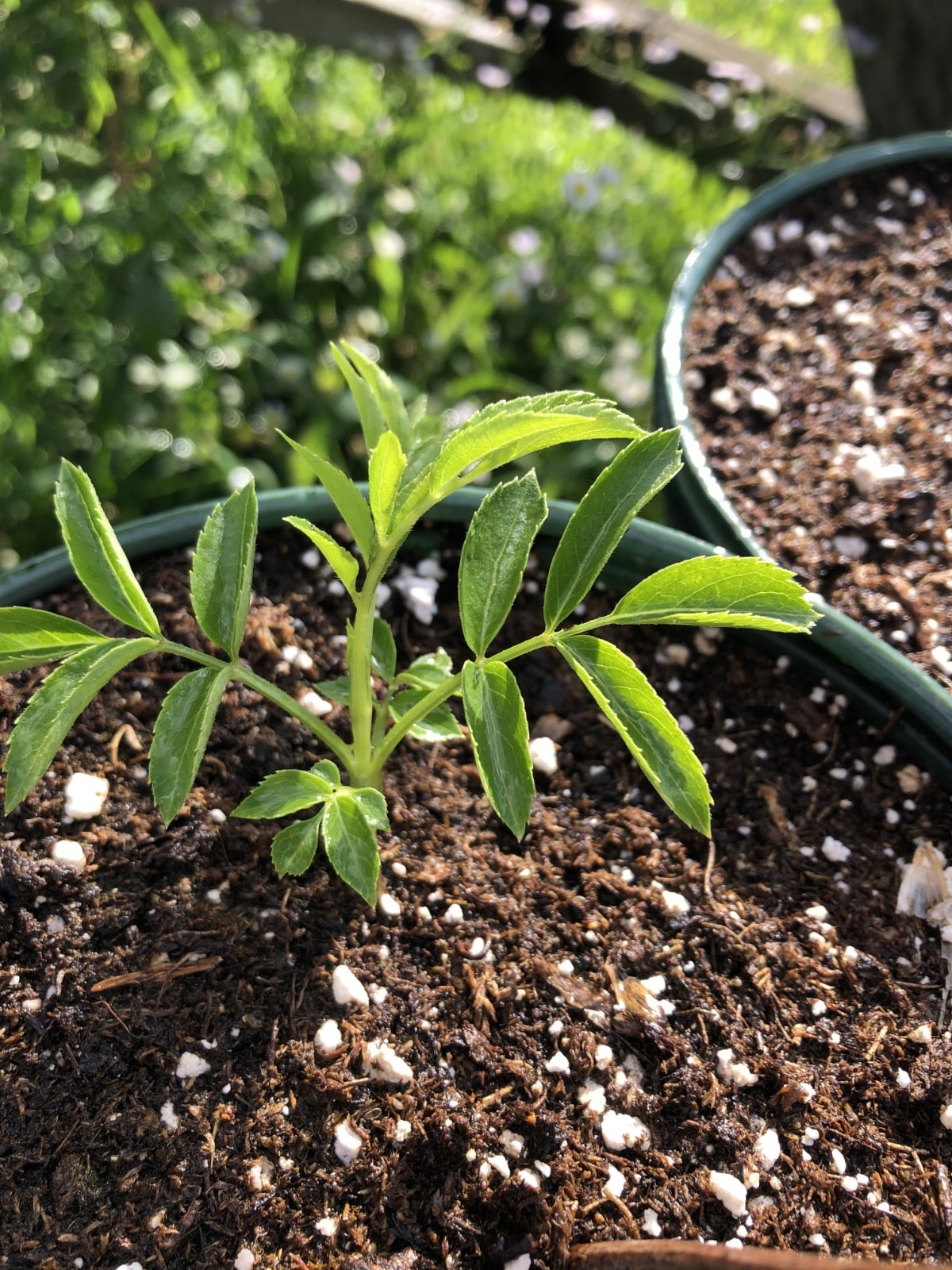small potted elderberry bush ready for fall planting
