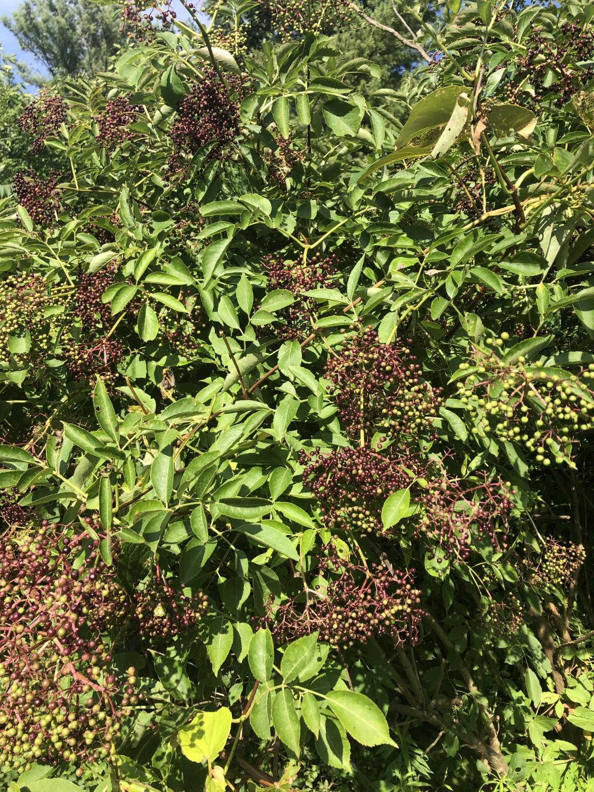 purple elderberries on bush
