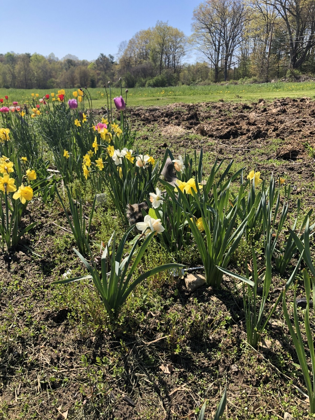 row of daffodils planted in October for cutting in the spring