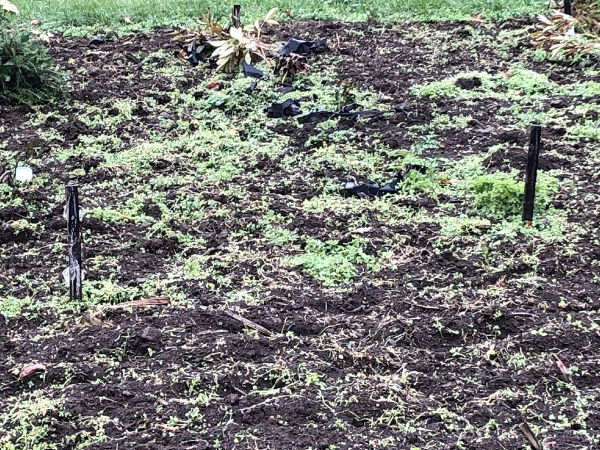 October planted white clover cover crop