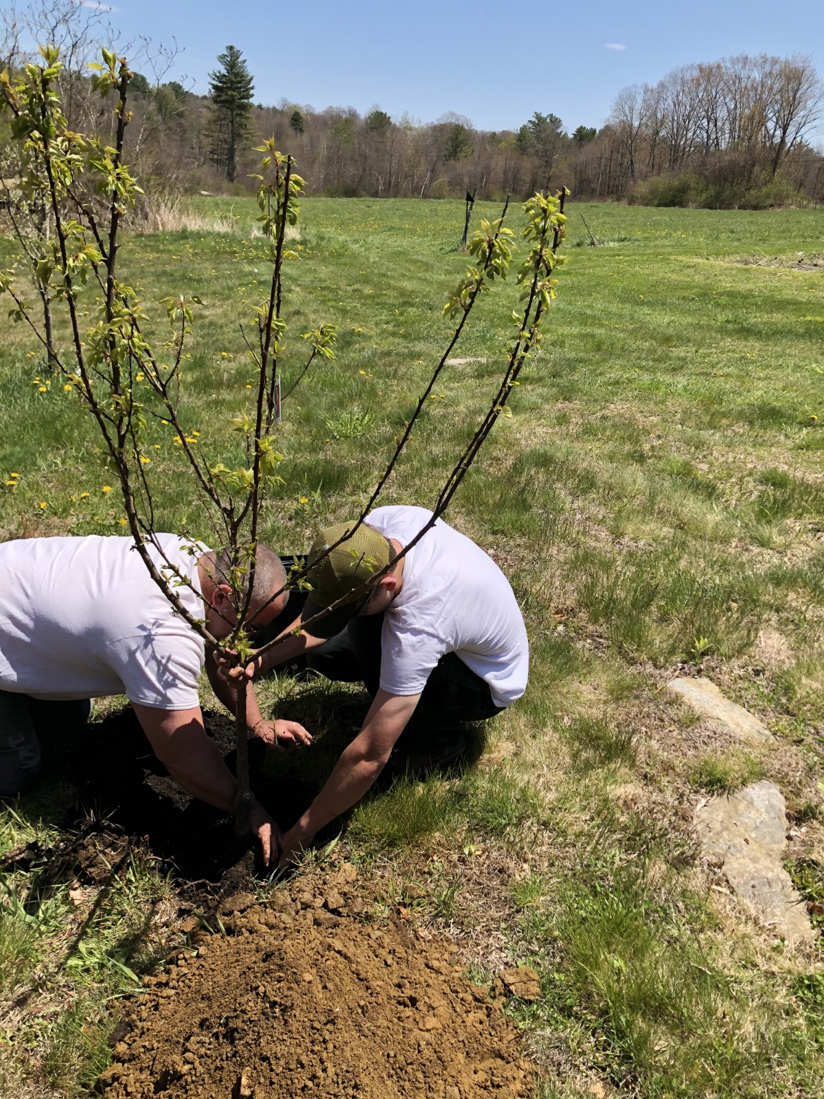 two men planting a fruit tree in the fall