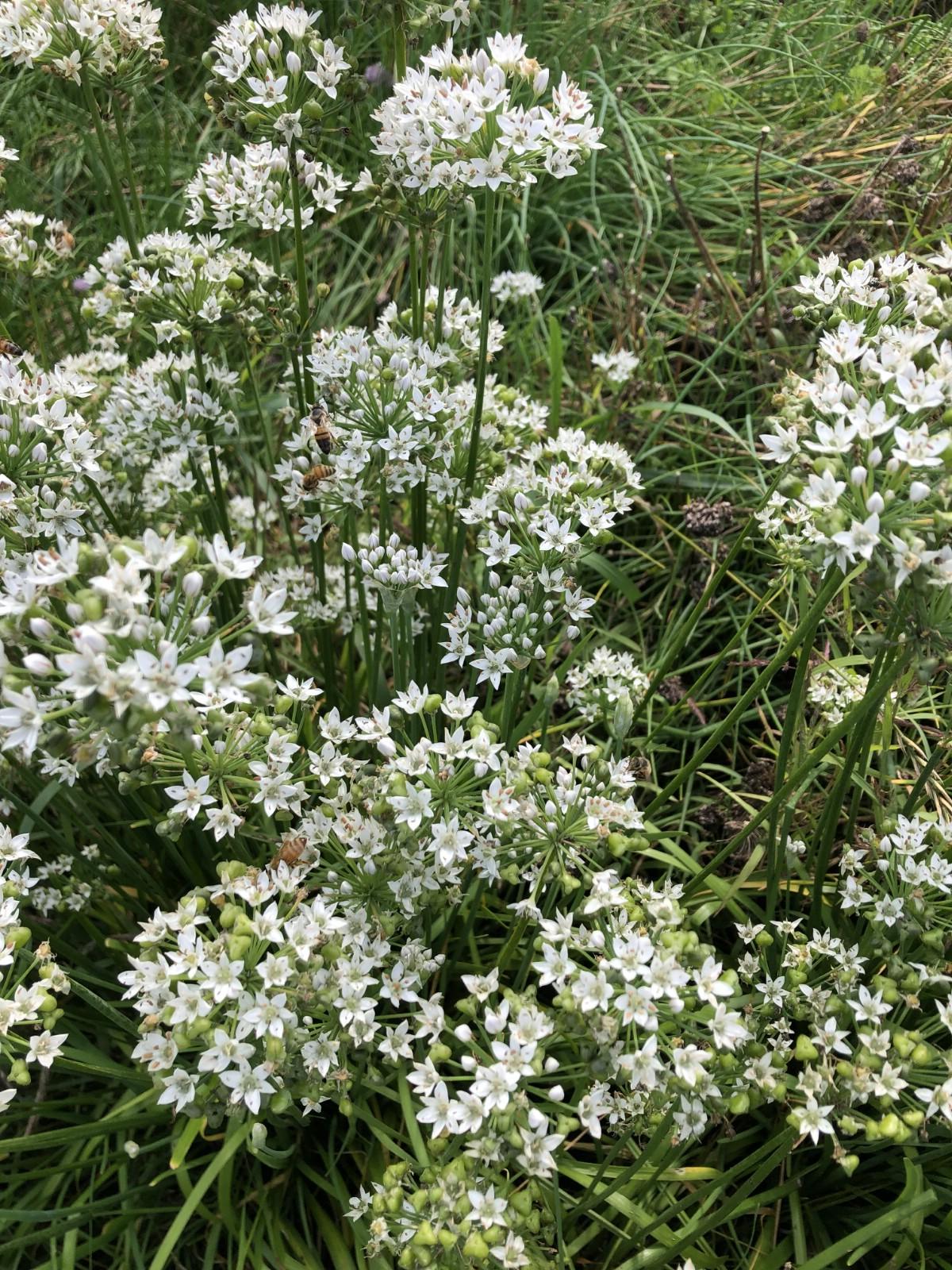 white flowered garlic chives