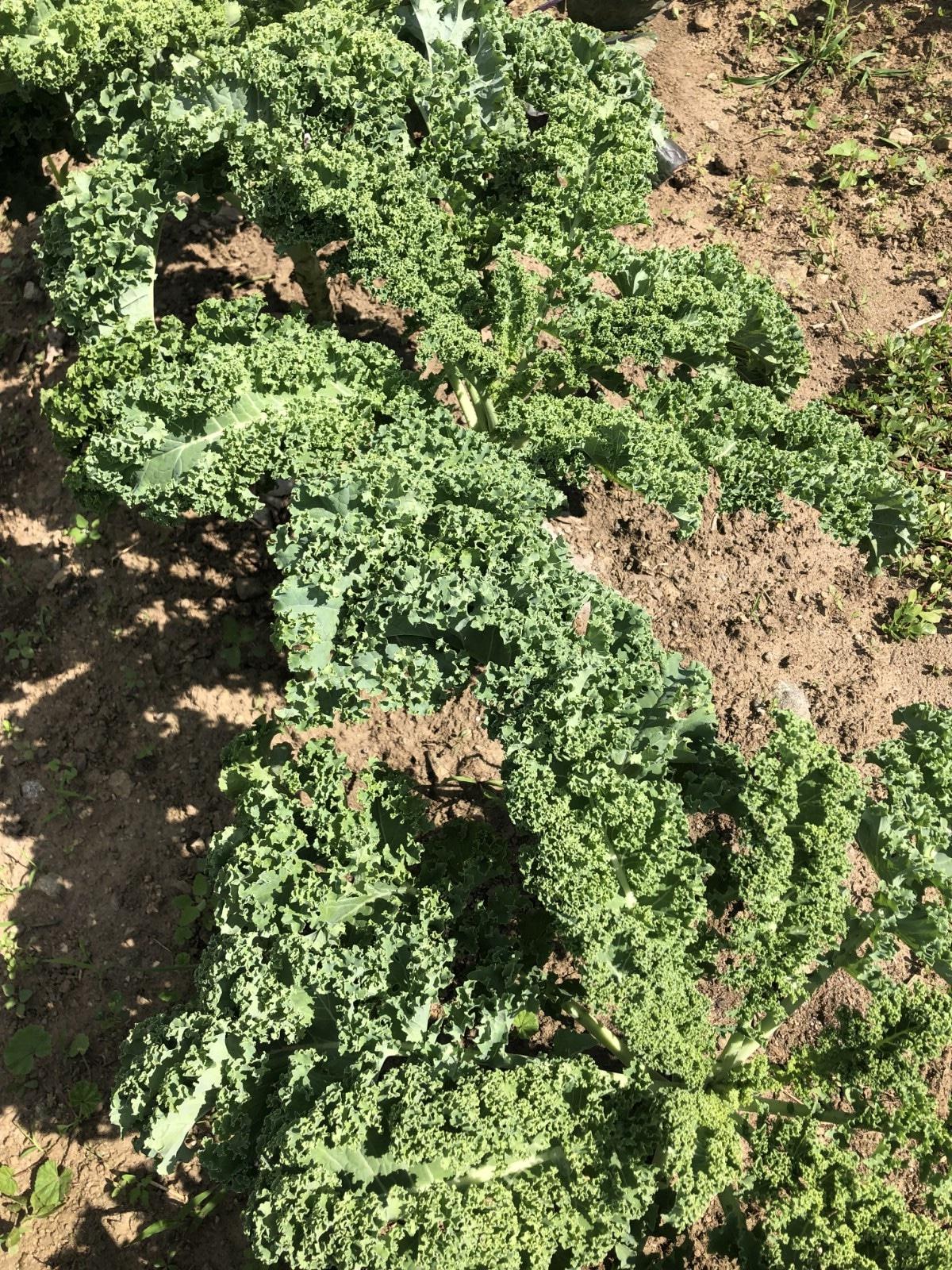 established kale plants growing in October