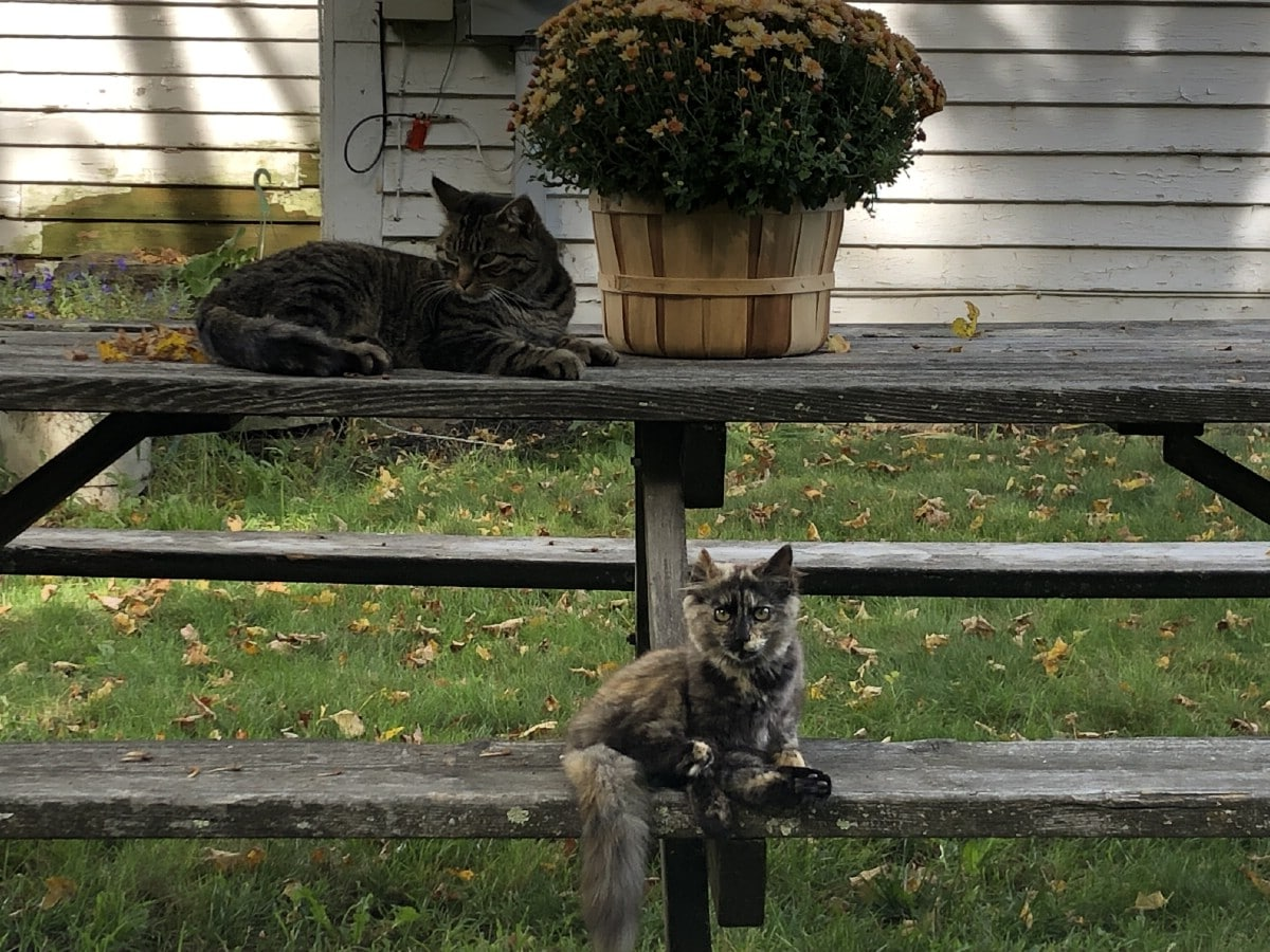 mum planted in basket on picnic table with two cats