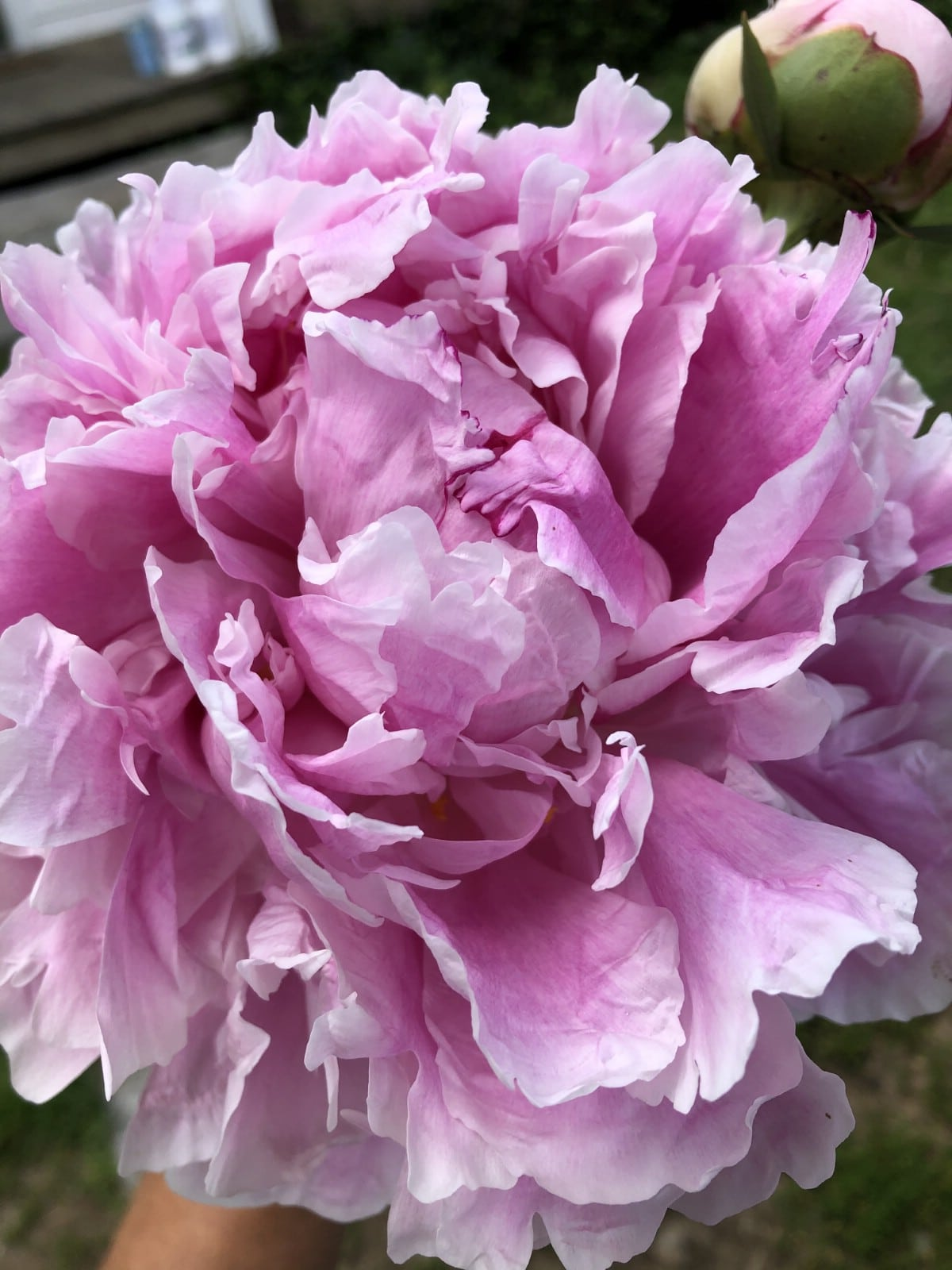 large pink peony flower